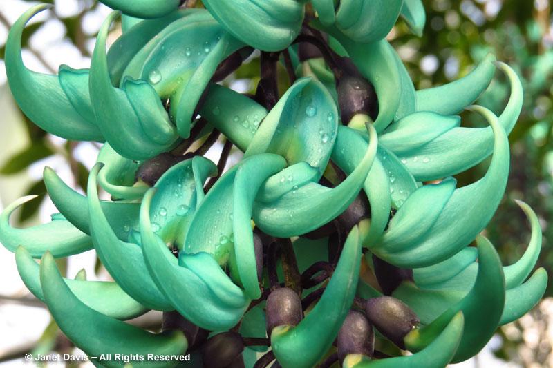 "Jade vine flowers hang in long trusses, or ""pseudoracemes""."