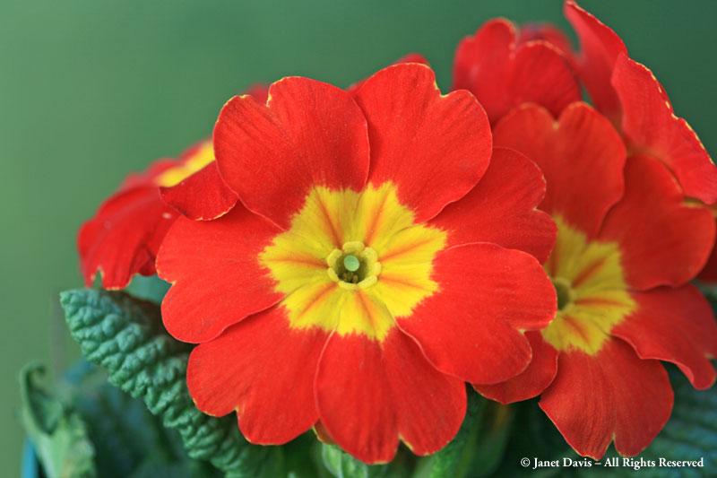 RED-001-Primula-'Danova-Red'