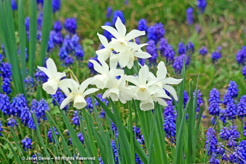 Narcissus 'Thalia' with grape hyacinths.