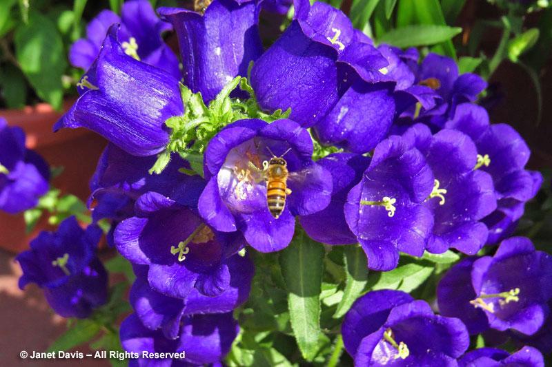 Bee on Campanula medium