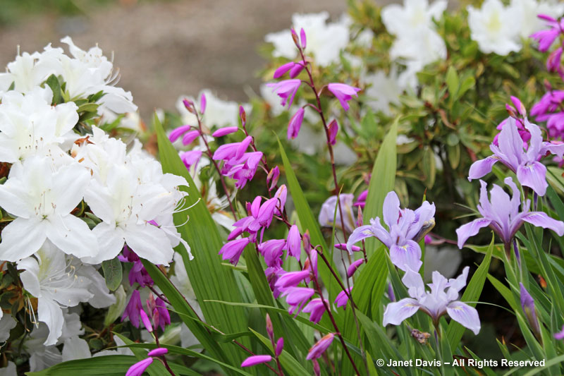 Bletilla & Pacific iris with azalea