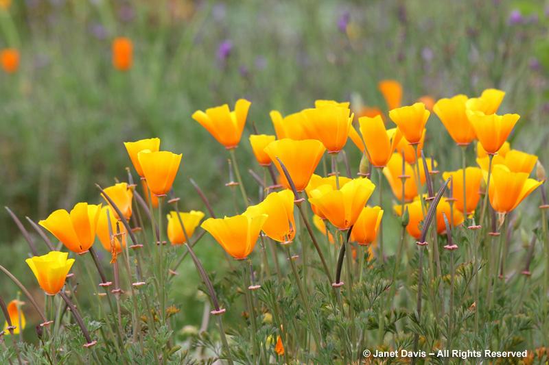 California poppies-Eschscholzia californica