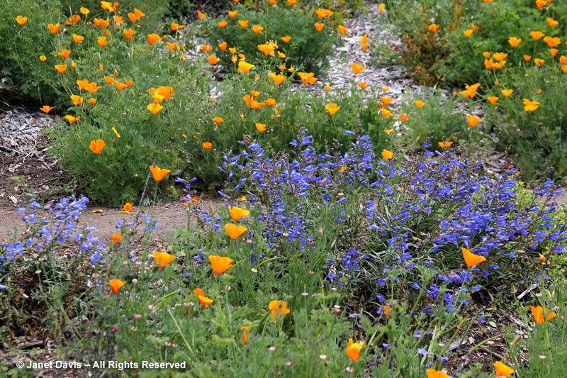 At The Santa Barbara Botanical Garden, Foothills Penstemon (P.  Heterophyllus) Offers The