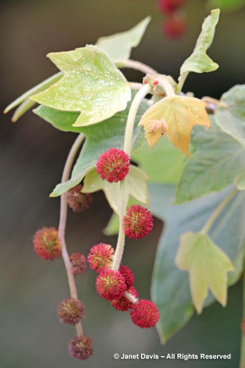 California sycamore - Platanus racemosa