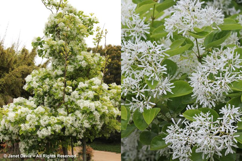 Chinese fringe tree-Chionanthus retusus