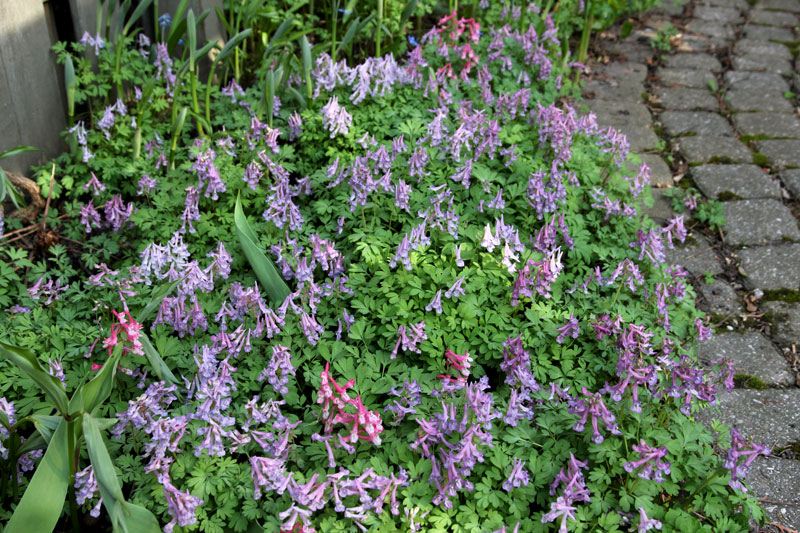 Corydalis solida on my path