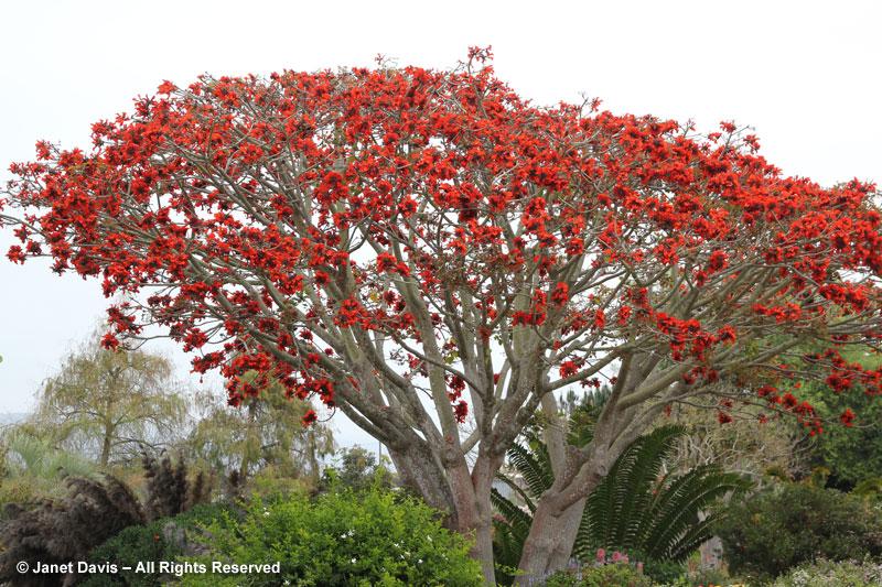 Erythrina caffra-coral tree