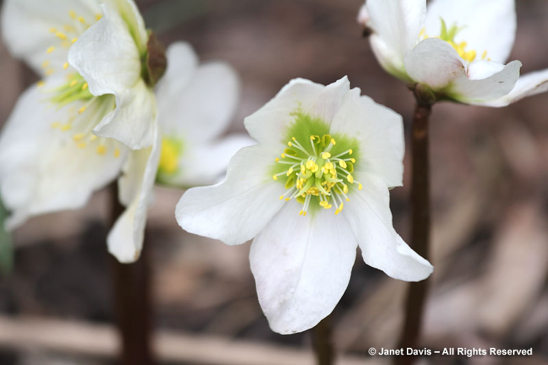 Christmas rose (Helleborus niger) starts flowering in late winter or very early spring, well ahead of the lenten roses (H. orientalis hybrids)..