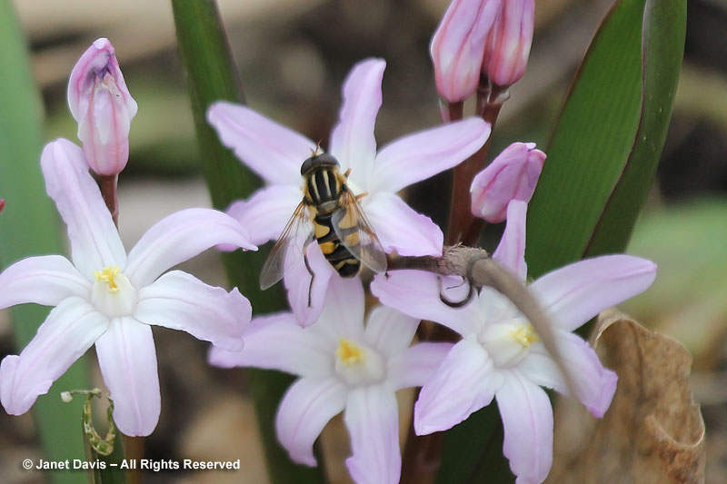Pink glory-of-the-snow attracts a hover fly.