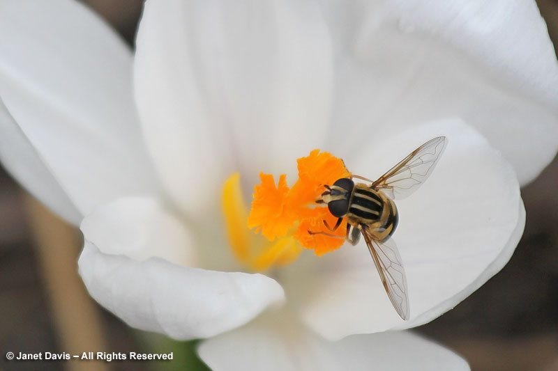 Crocus stigmas offer a rich source of springtime pollen for many bees and flies.