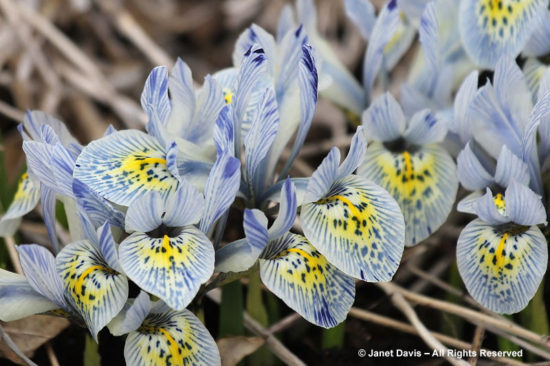 The delightful striped flowers of Iris histrioides 'Katherine Hodgkin' are an unusual color.