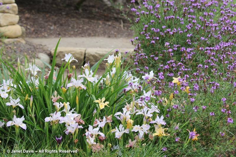 Native irises & Verbena lilacina