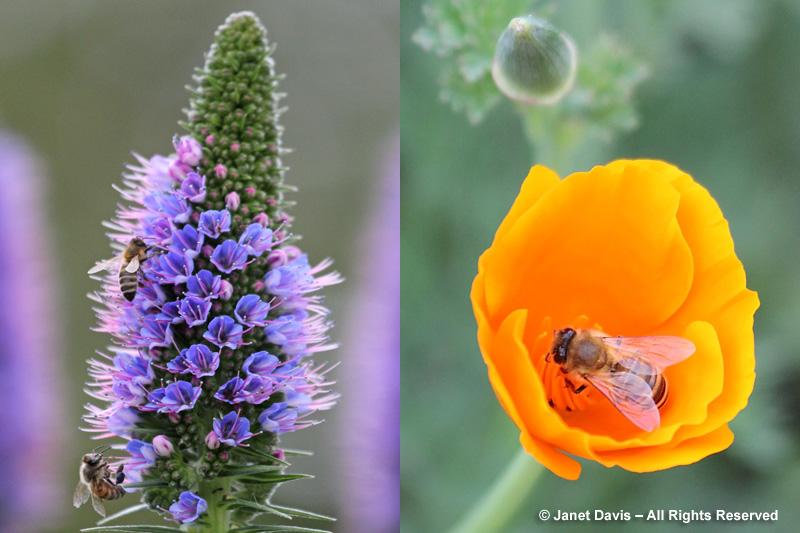 Pride-of-Madeira & California poppy