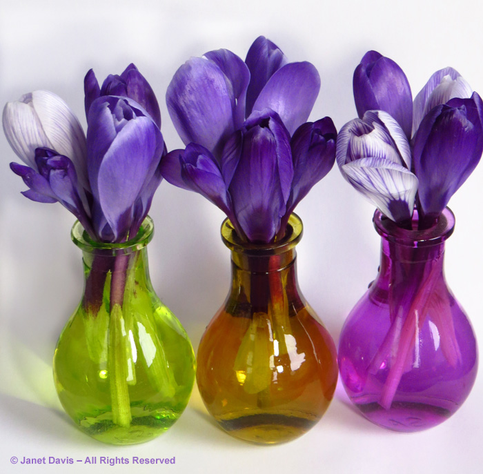 'Purple Remembrance' and 'Pickwick' Dutch crocuses in bud vases.