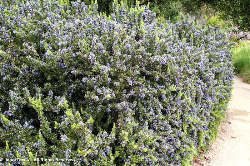Rosmary Hedge