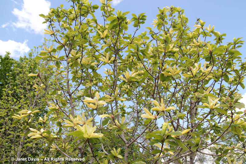 Magnolia acuminata janet davis explores colour magnolia sunburst though hybrid yellow magnolias often flower mightylinksfo Gallery