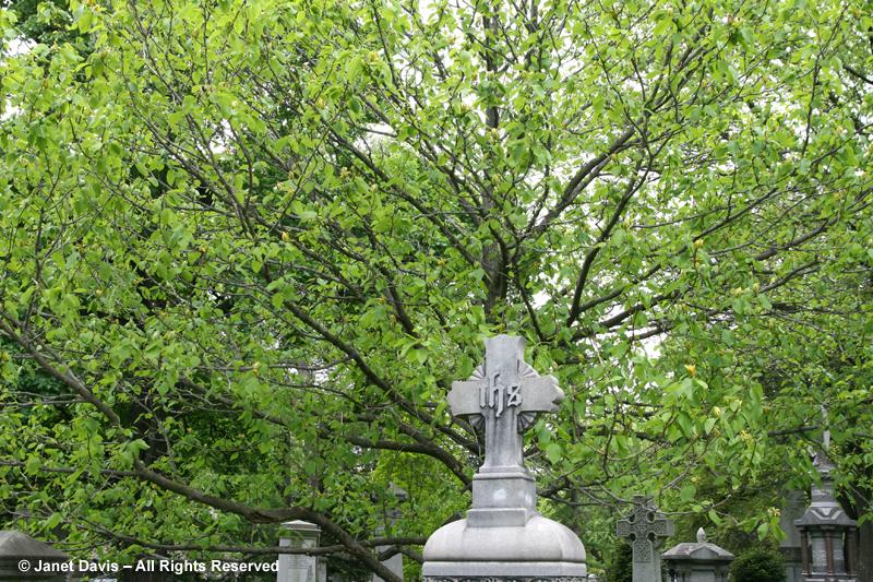 Magnolia acuminata at Mt. Pleasant Cemetery - Toronto