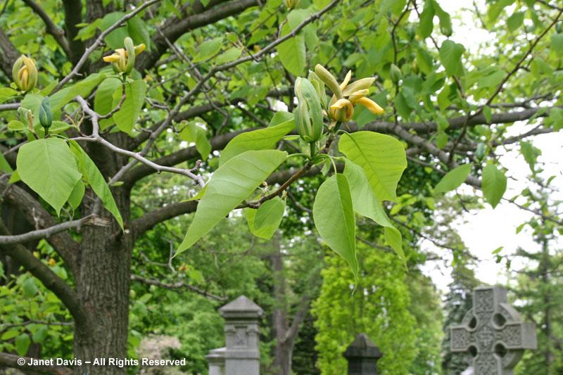 Magnolia acuminata branch