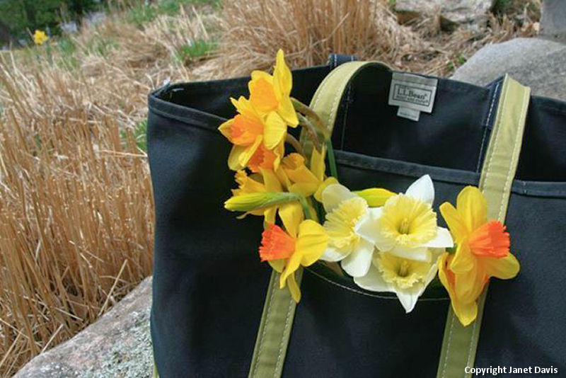 Daffodils heading home in the L.L.Bean bag