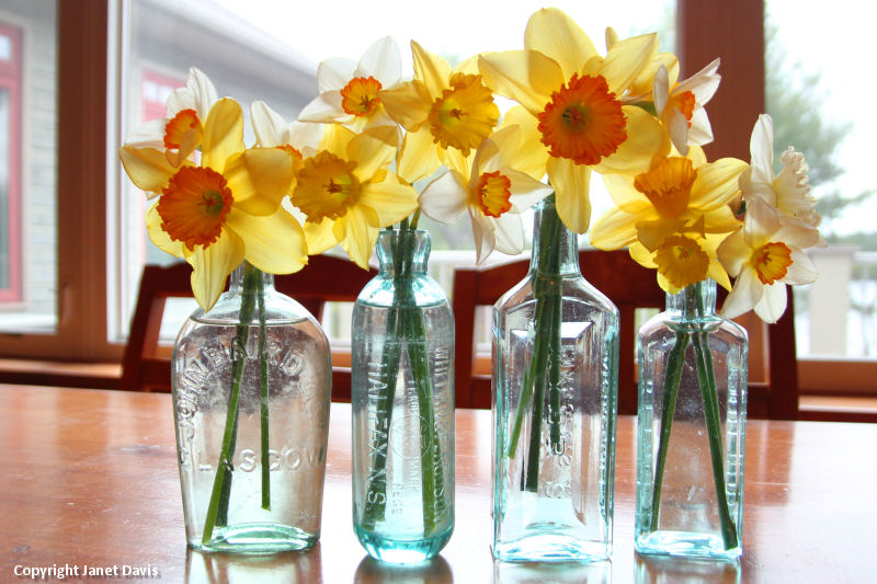 Daffodils in vintage bottles