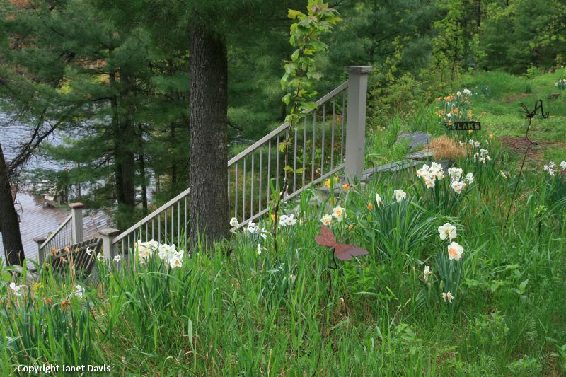 Daffodils suit naturalistic plantings