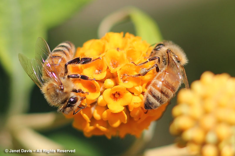 Honey bees on Buddleia globosa