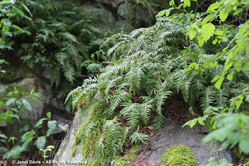 Licorice fern-Polypodium glycyrrhiza