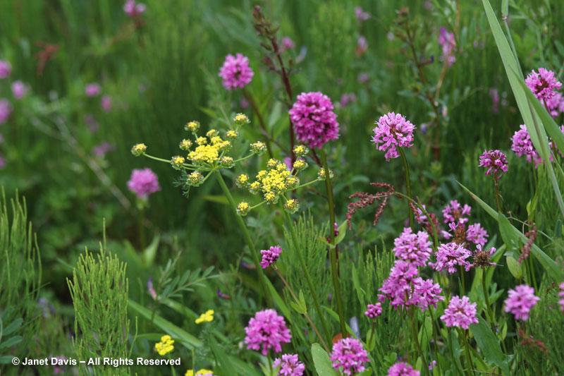 Lomatium utriculatum & sea blush