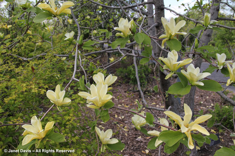 Magnolia 'Golden Endeavor'