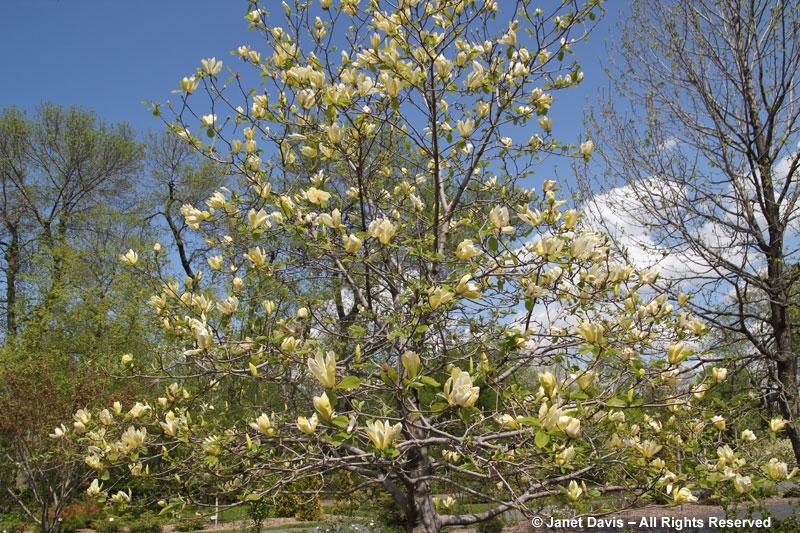 Magnolia 'Limelight'