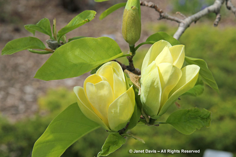 yellow magnolia wallpaper - photo #21