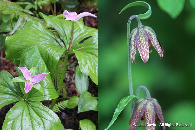 Trilllium ovatum & Fritillaria affinis var. affinis