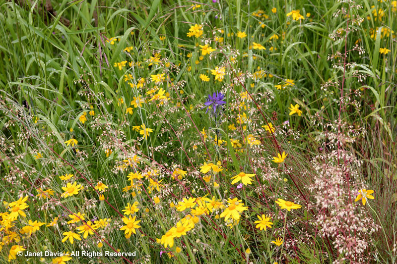 Wooly sunflower - Eriophyllum lanatum