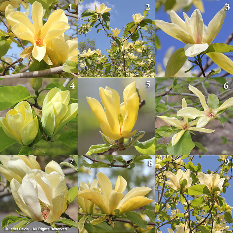 Yellow Magnolias at Montreal Botanical Garden