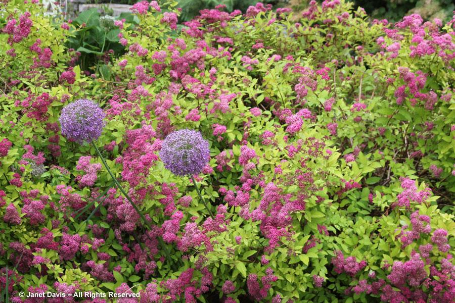 11-Allium in spirea