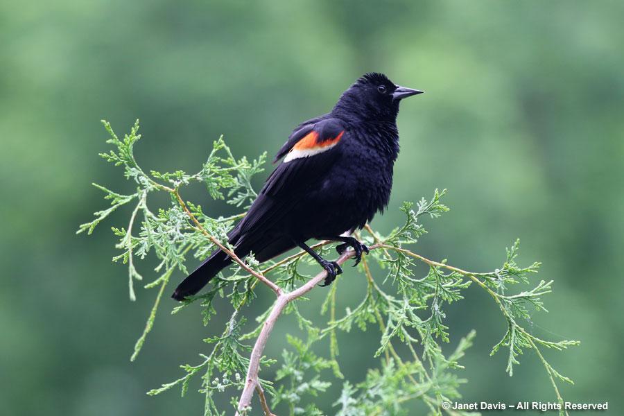18-Red-winged blackbird