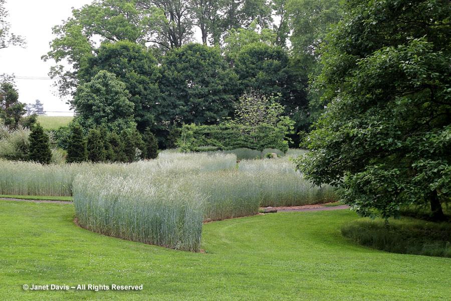 25-Winter rye in the Serpentine