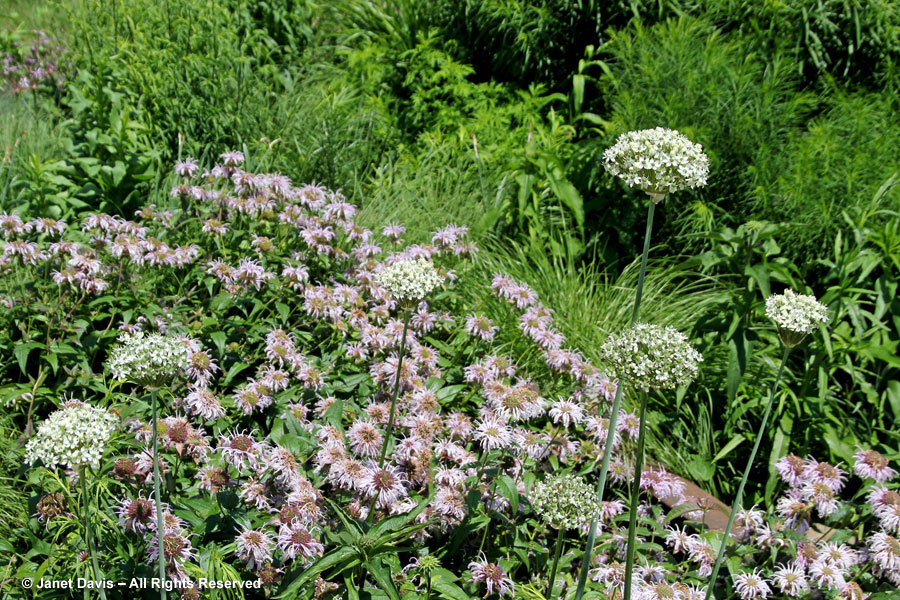 Allium 'Mount Everest' & Monarda bradburiana