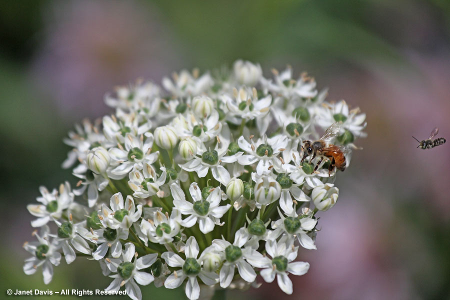 Bees on Allium 'Mount Everest'