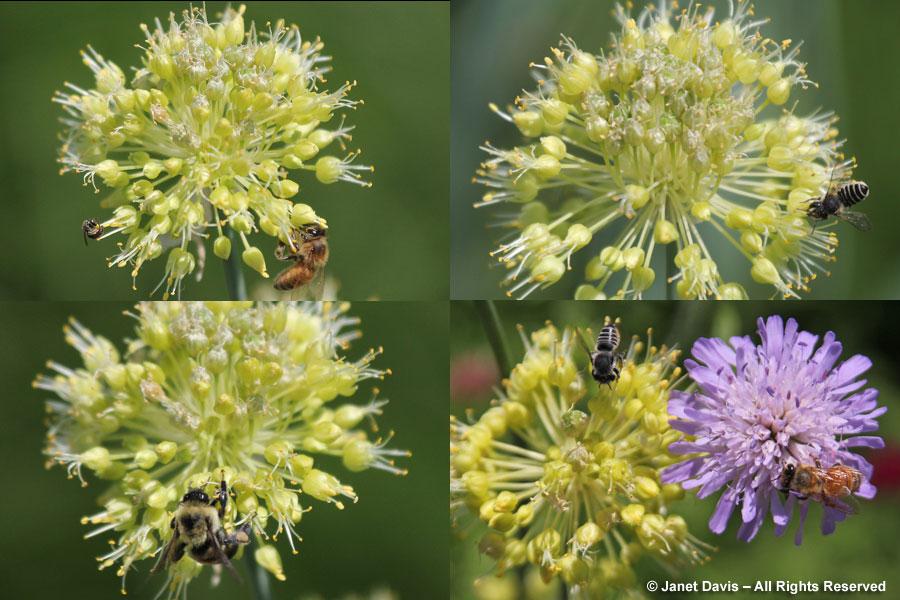 Bees on Allium obliquum & Knautia