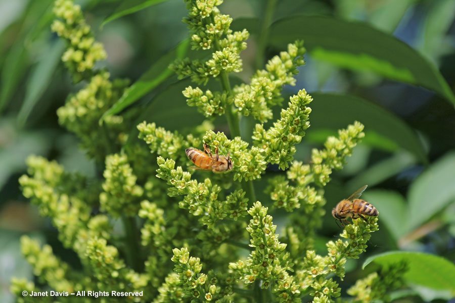 Honey bees on sumac