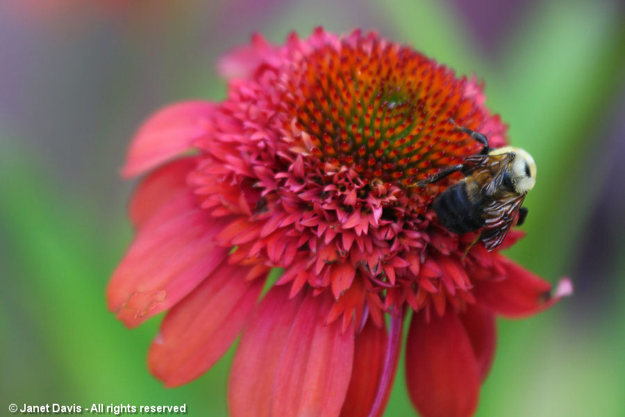 Bumble bee on Echinacea 'Meteor Red'