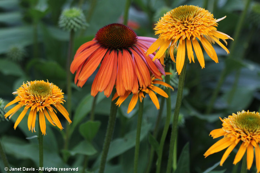 Echinacea 'Secret Glow' & 'Tangerine Dream'