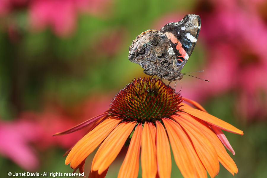 Painted lady on Echinacea 'Tangerine Dream'