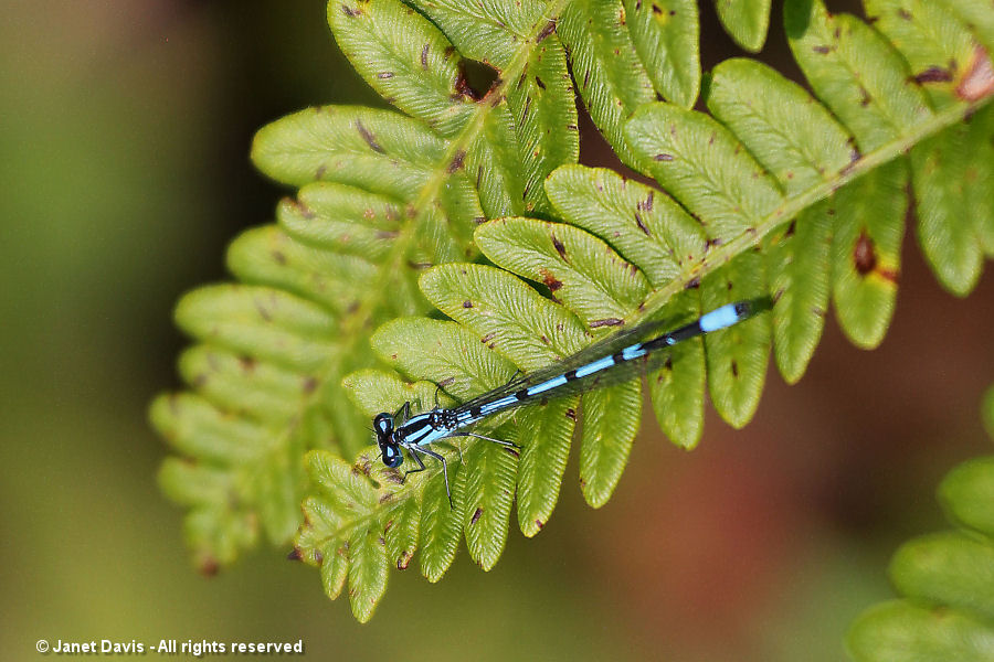 Blue damselfly- Enallagma cyathigerum