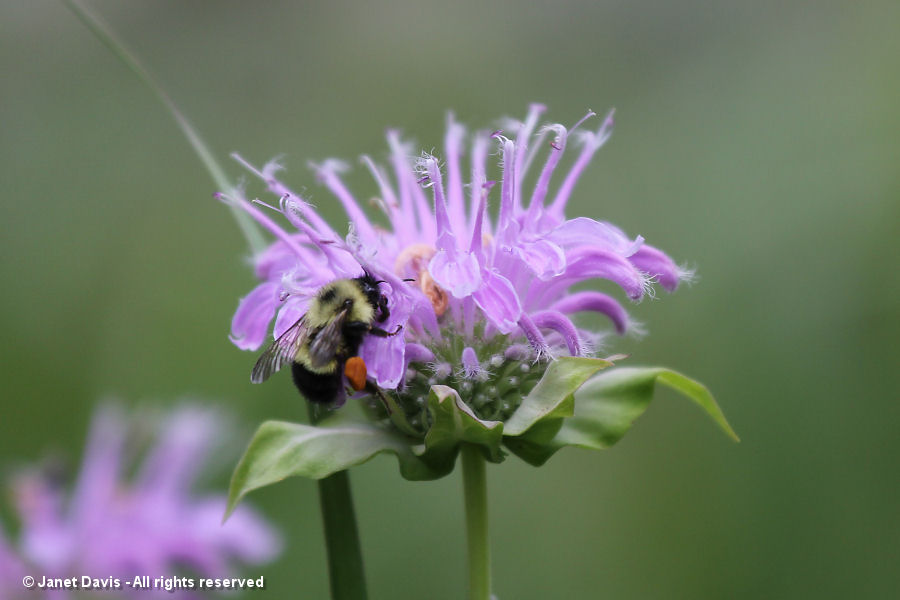 Bumble bee on wild beebalm