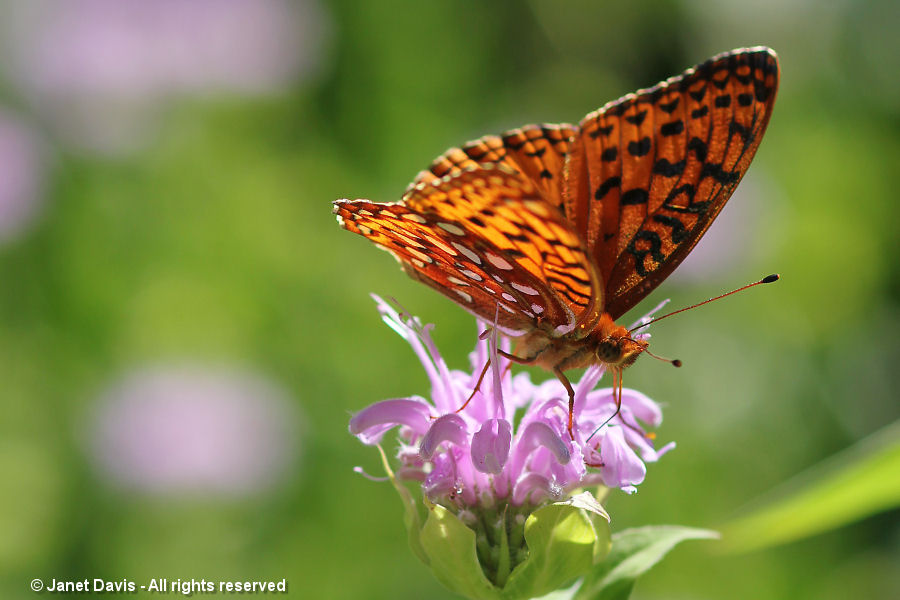 Fritillary on beebalm