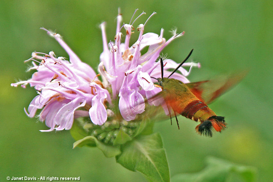 Hummingbird clearwing on wild beebalm