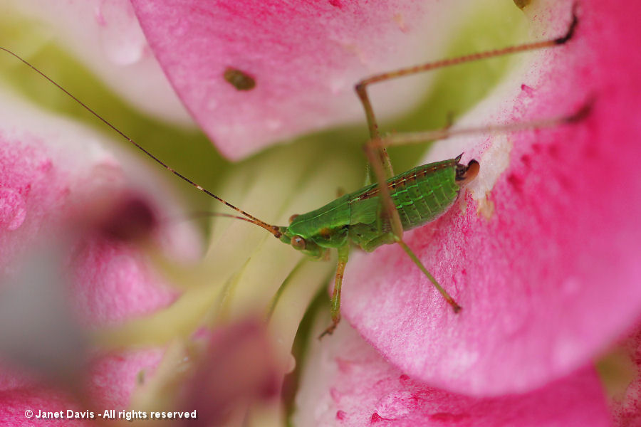 Juvenile grasshopper