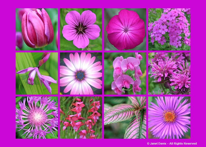 Row 1:  Triumph Tulip 'Passionale' (Tulipa), Armenian Cranesbill (Geranium psilostemon), Rose Campion (Lychnis coronaria), 'Robert Poore' Garden Phlox (Phlox paniculata)  Row 2:  Chinese Ground Orchid (Bletilla striata), 'Soprano Light Purple' African Daisy (Osteospermum), Everlasting Pea (Lathyrus latifolius), 'Scorpion' Beebalm (Monarda didyma) Row 3:  Persian Cornflower (Centaurea dealbata), Hardy Gladiolus (Gladiolus communis ssp. byzantinus), Persian Shield (Strobilanthes dyerianus), 'Purple Dome' Aster (Aster novae-angliae)
